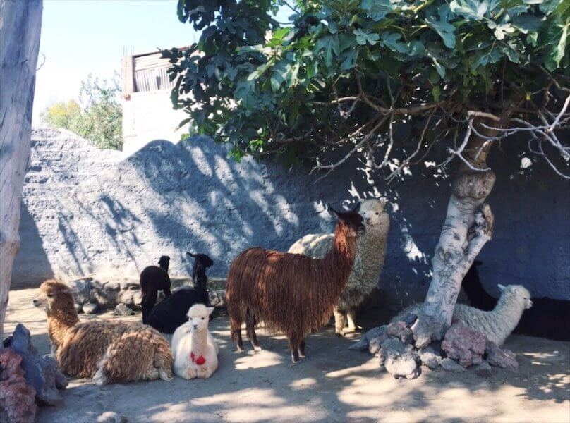 Things to do in Arequipa Peru - Alpaca World
