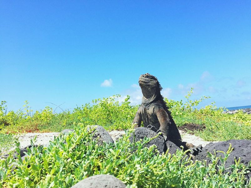 Things to do in San Cristobal Galapagos - Iguana