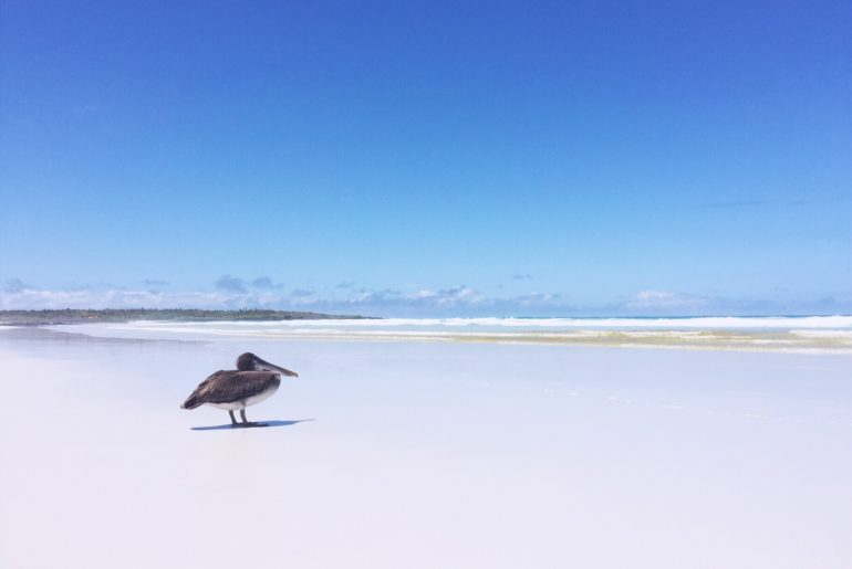 Galapagos on a budget - Tortuga Bay beach, Pelican standing on the beach