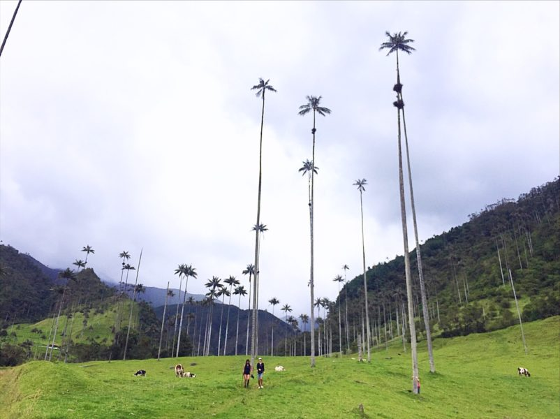 Things to do in Salento Colombia - world's tallest palm trees
