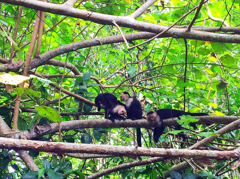 Cahuita National Park Costa Rica - monkeys